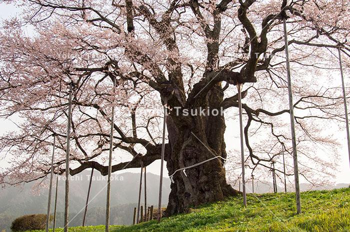 岡山県真庭市の醍醐桜